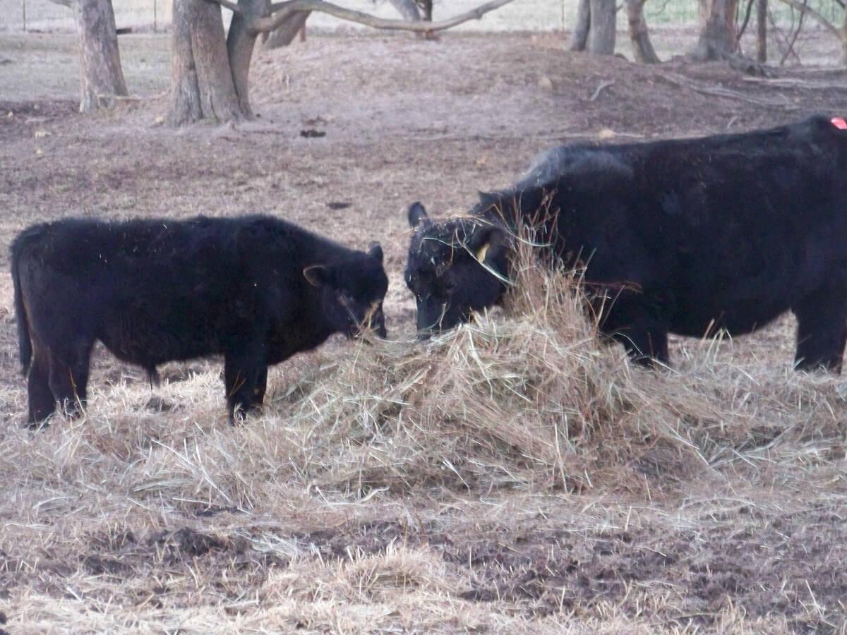 hayfeeding