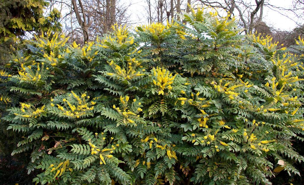 mahonia shrub