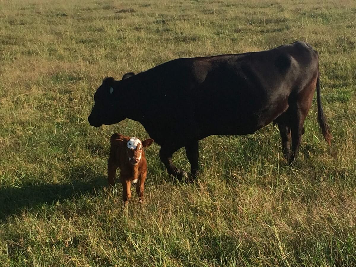 mama cow and calf