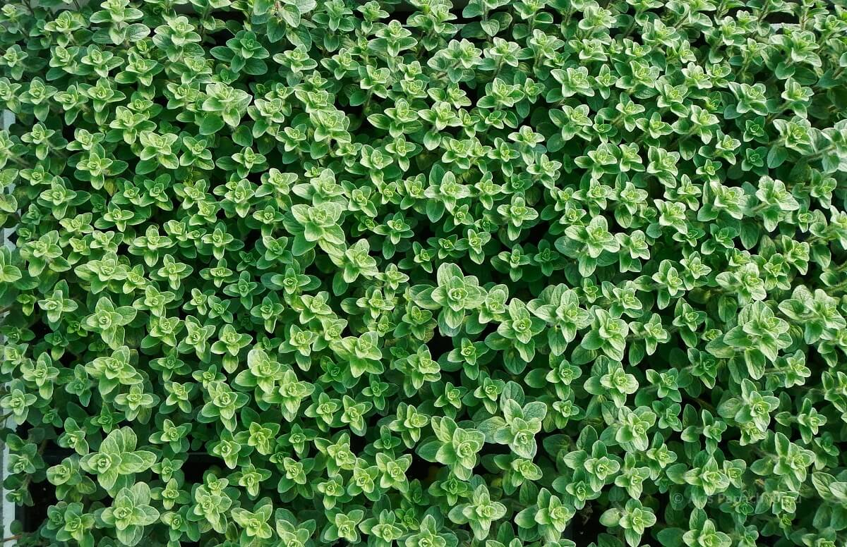 oregano ground cover
