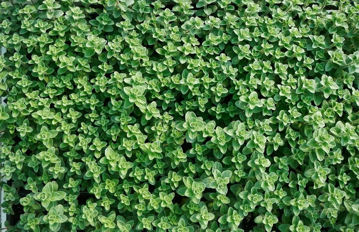 oregano ground cover
