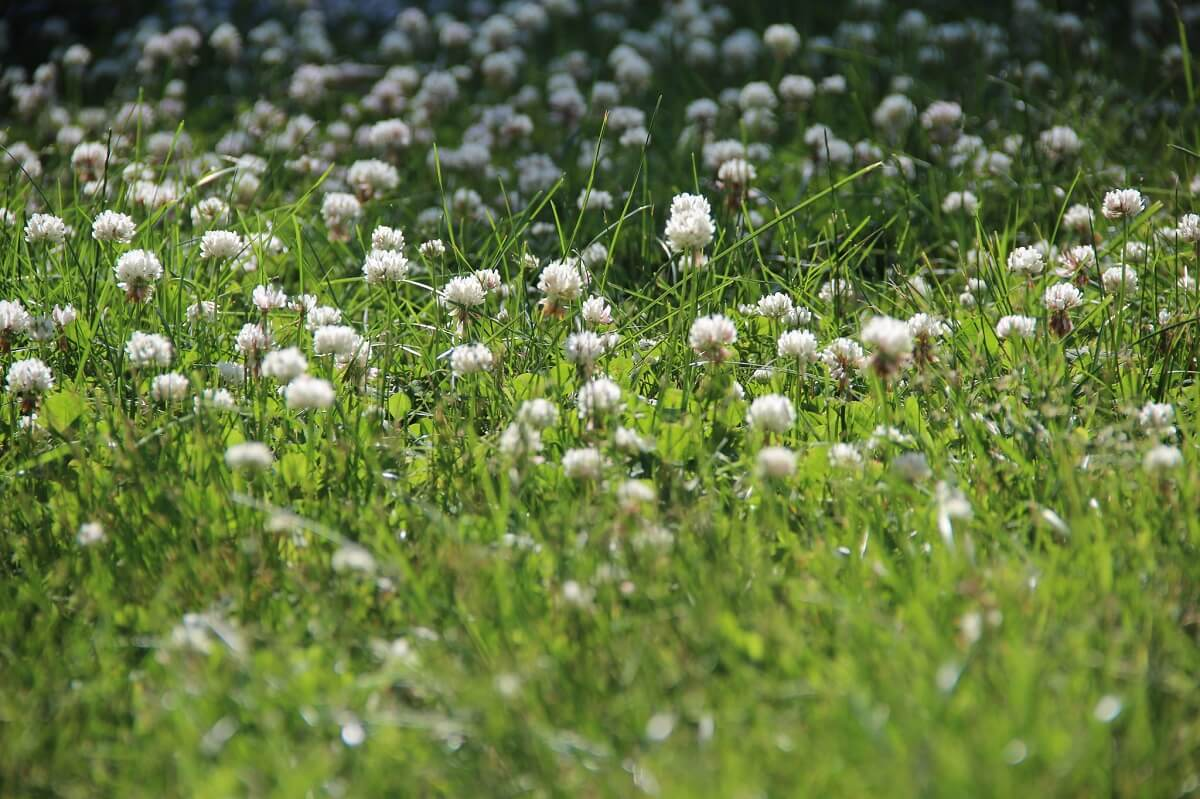 white clover ground cover