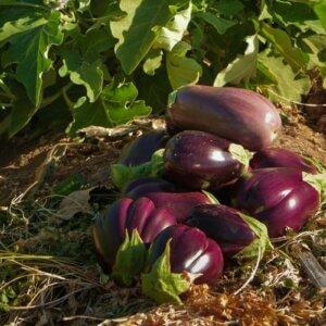 eggplant in field