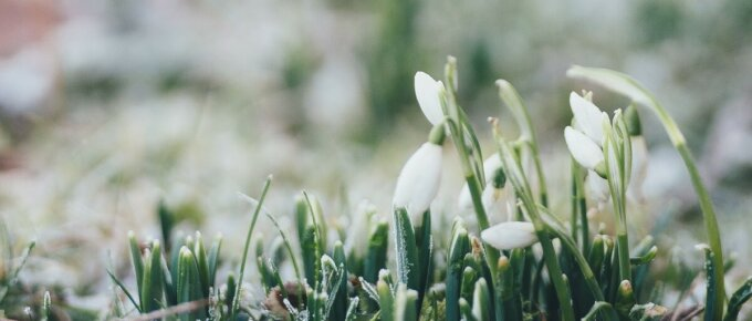 snowdrop flowers covered in frost