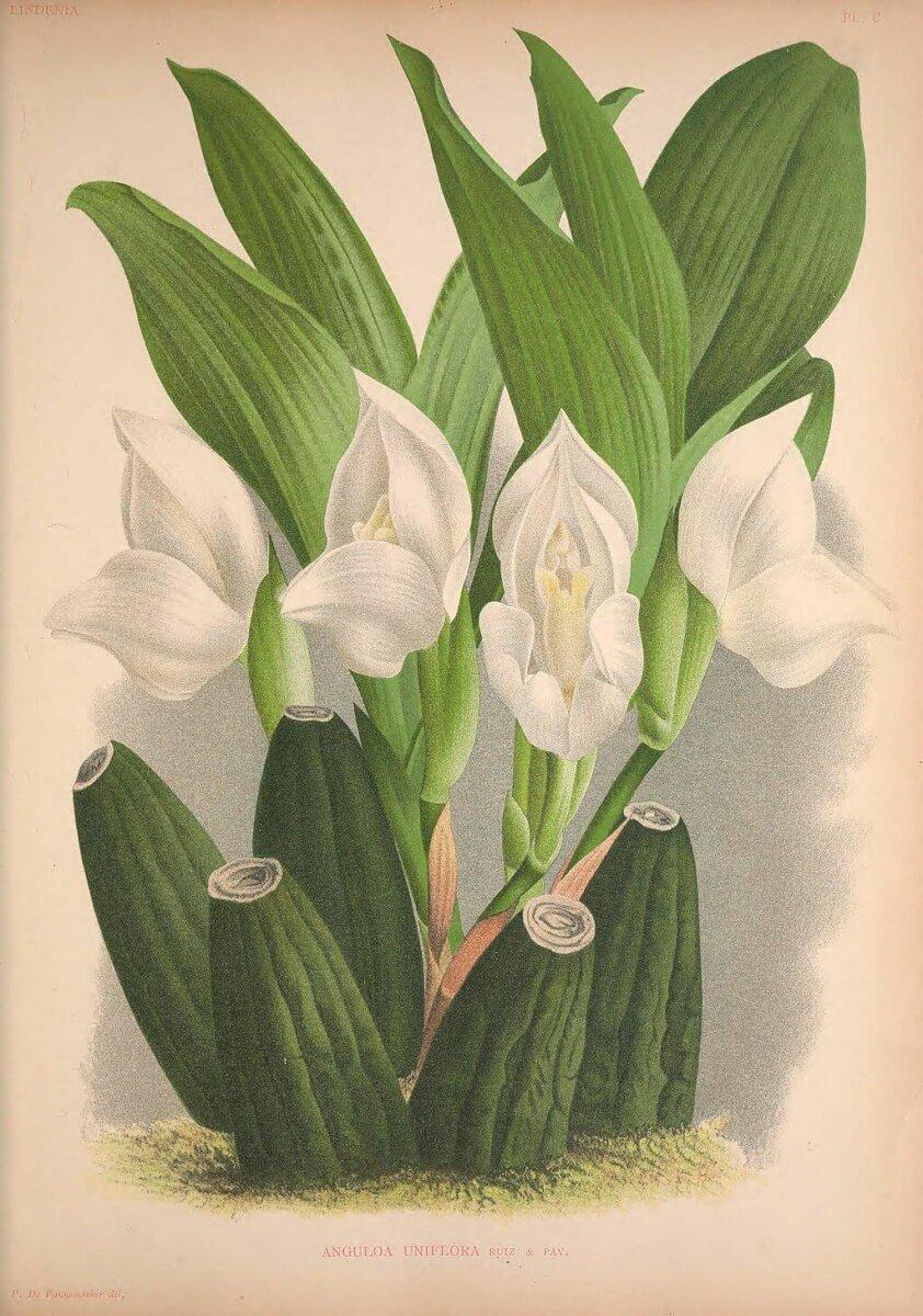 illustration of anguloa uniflora