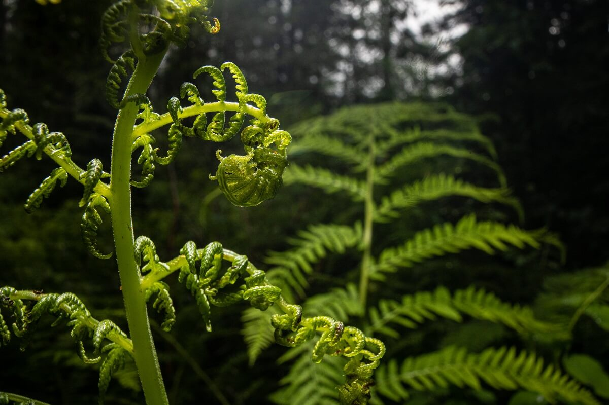 lady fern early spring