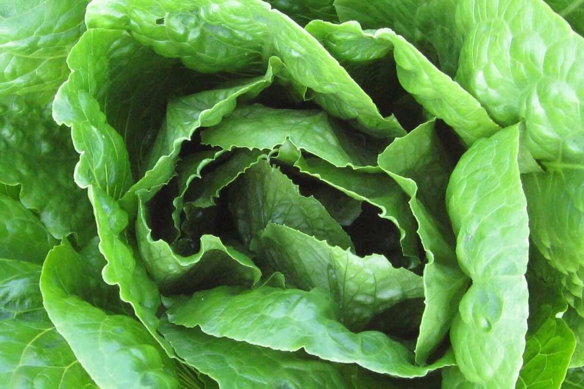 lettuce up close