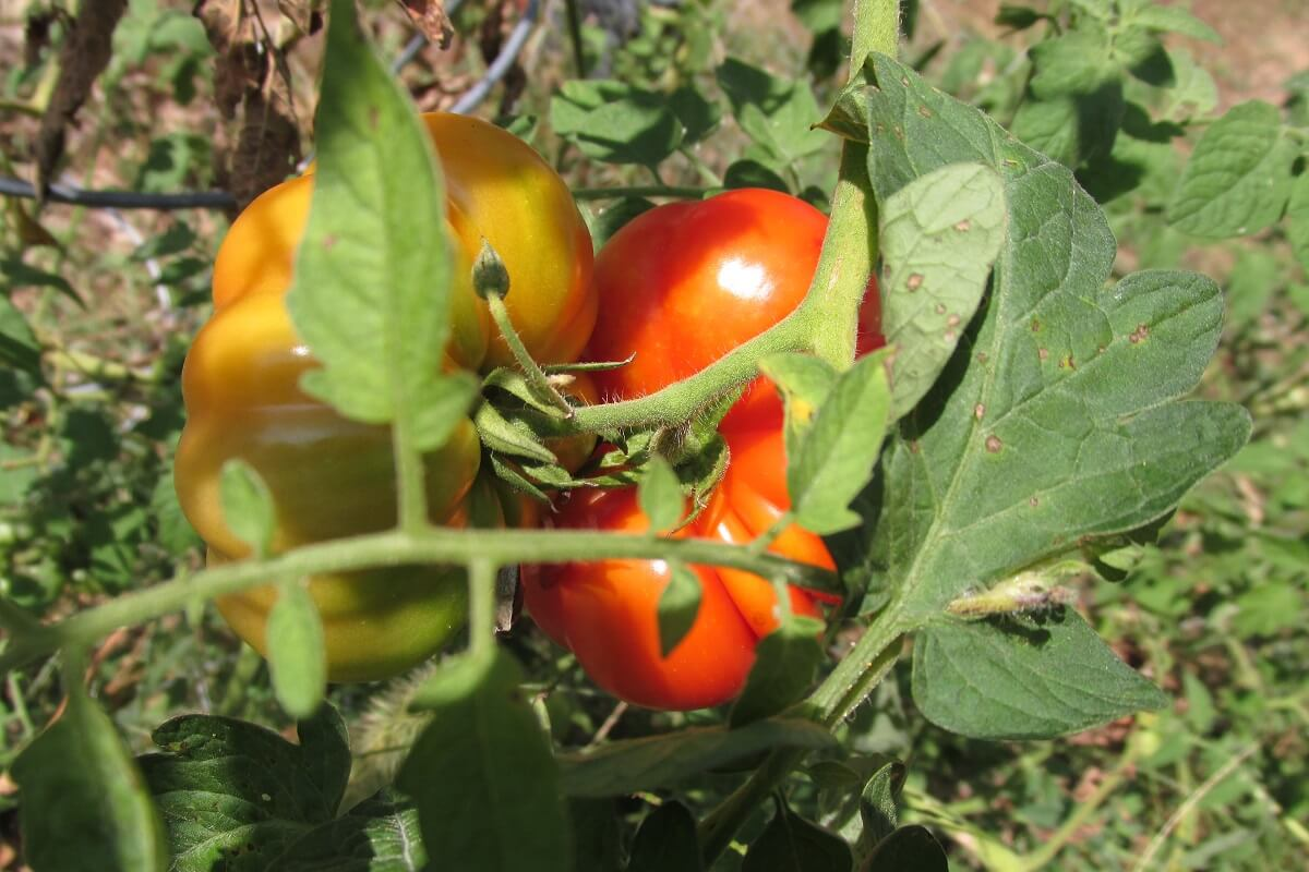 tomatoes rippening