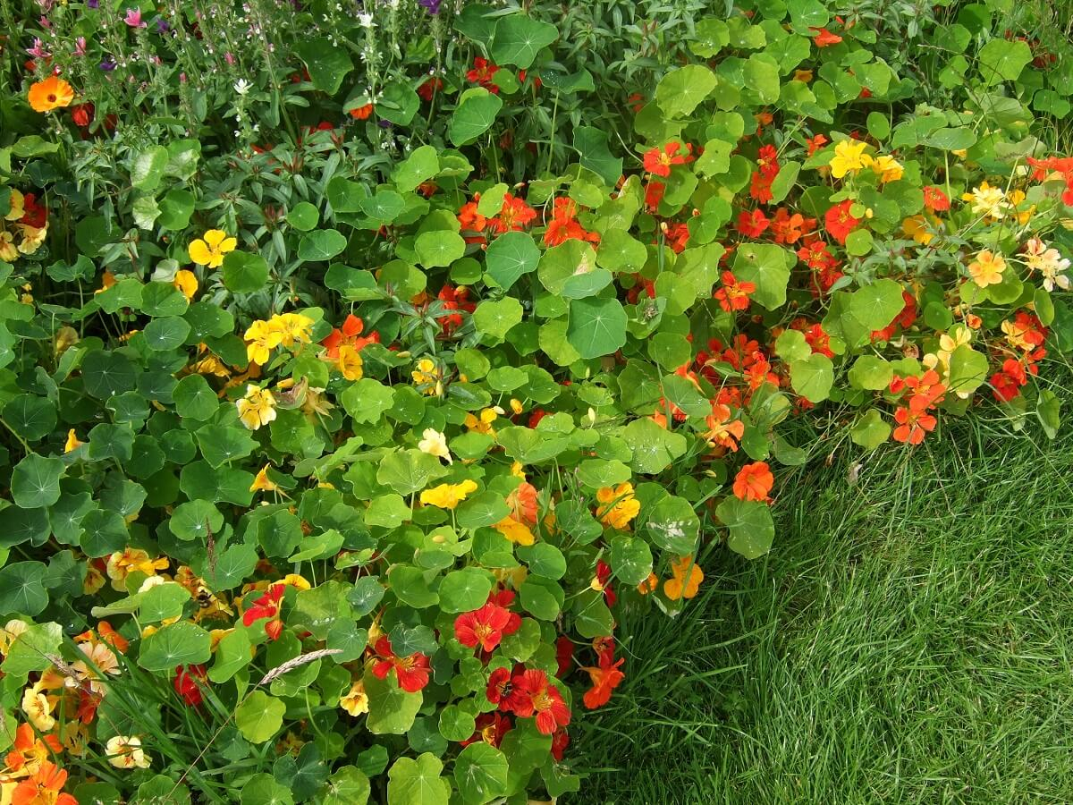 nasturtiums on grass