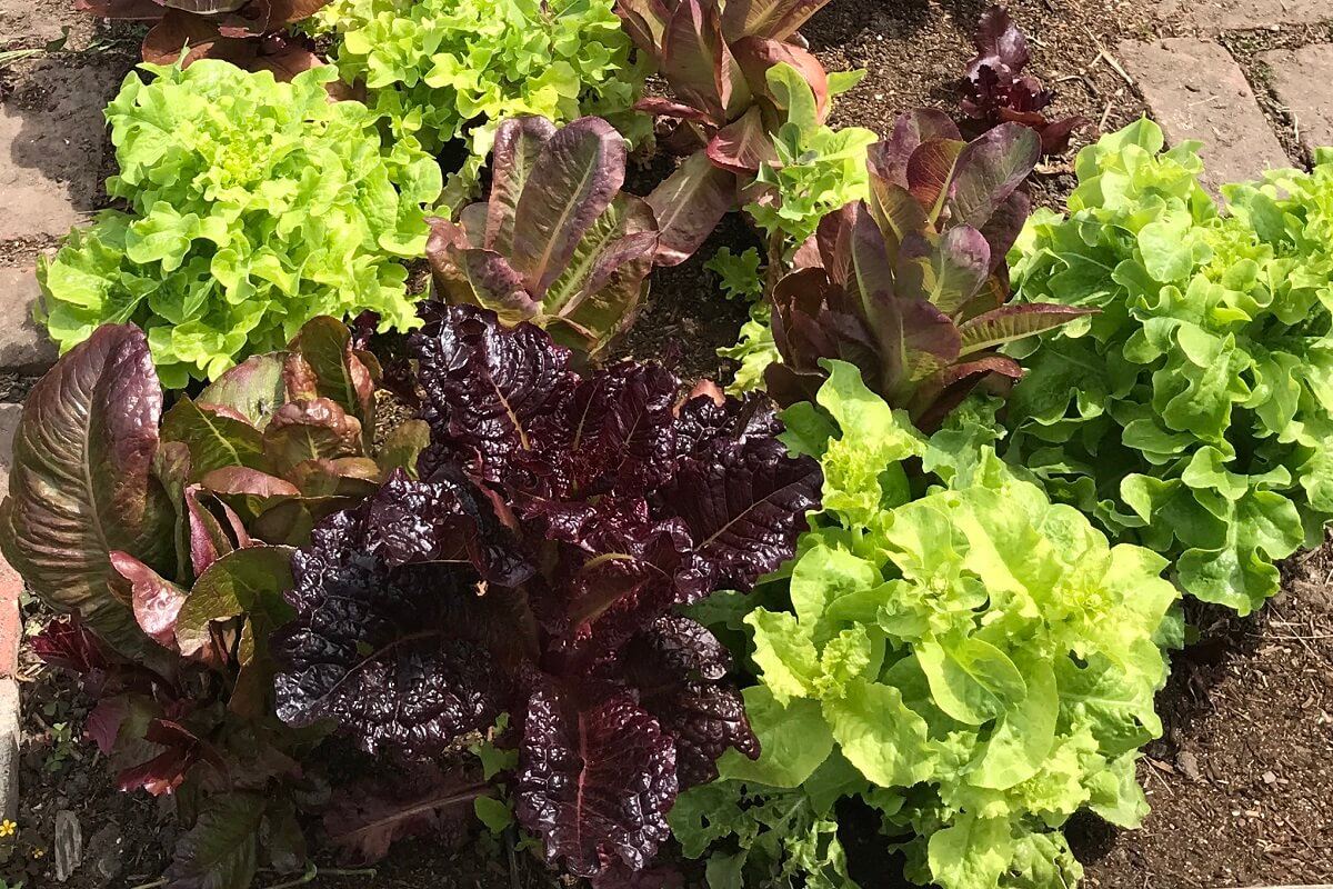 lettuce varieties in garden