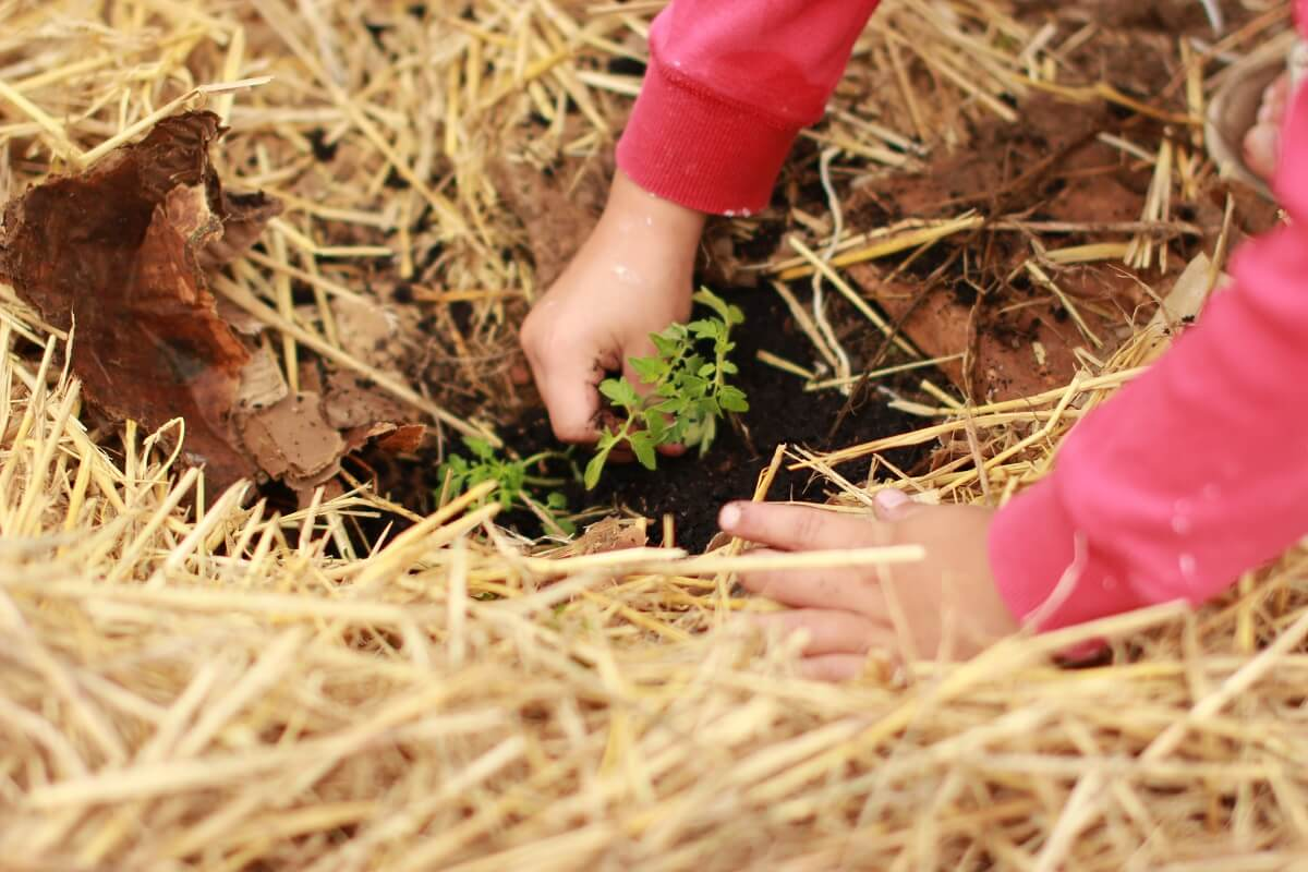person planting in straw