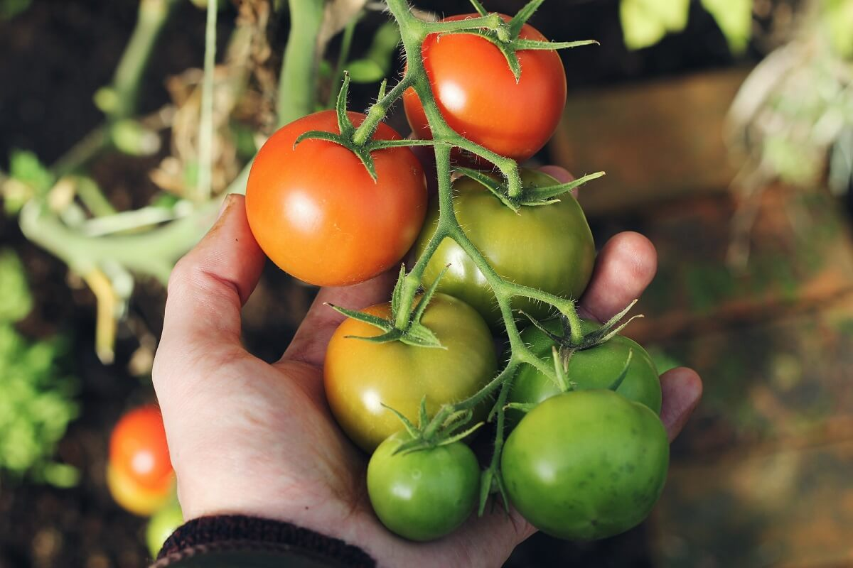 green red tomatoes