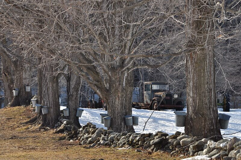 black locust hedge