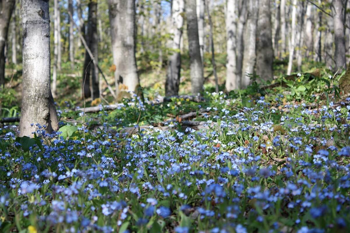 forget me nots on forest floor