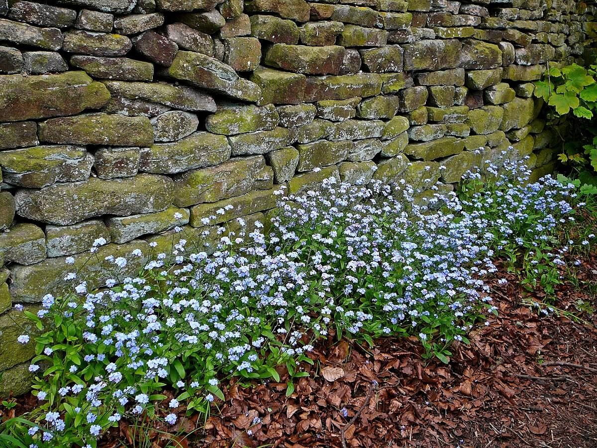 forget me not flowers along rock wall