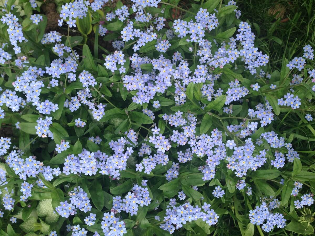 purple forget me not flowers