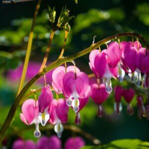 bleeding heart flower vine