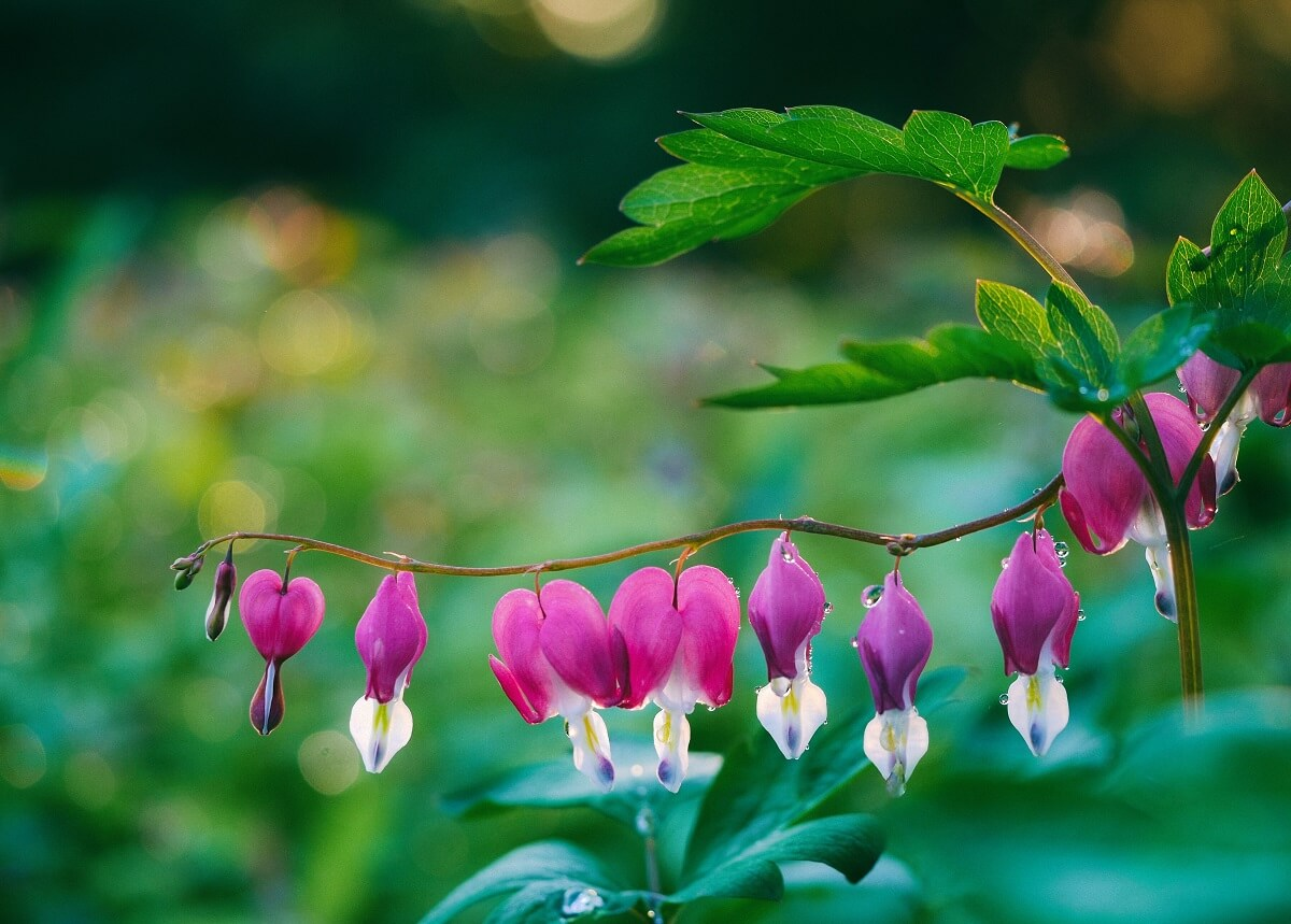 bleeding heart flowers with dew