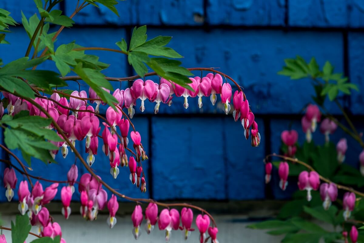 bleeding hearts on blue wall