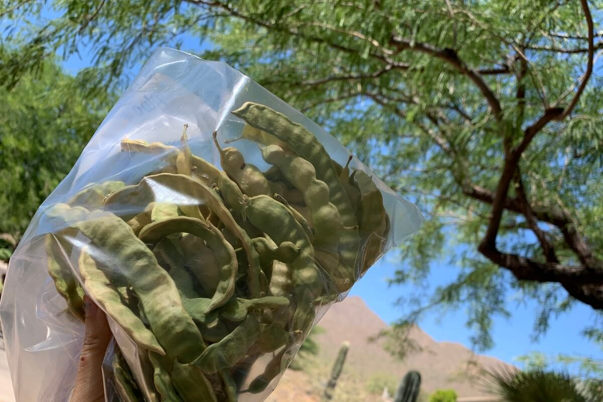collected mesquite beans