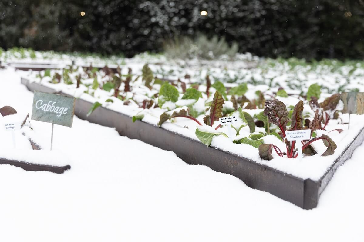 vegetable garden covered in snow