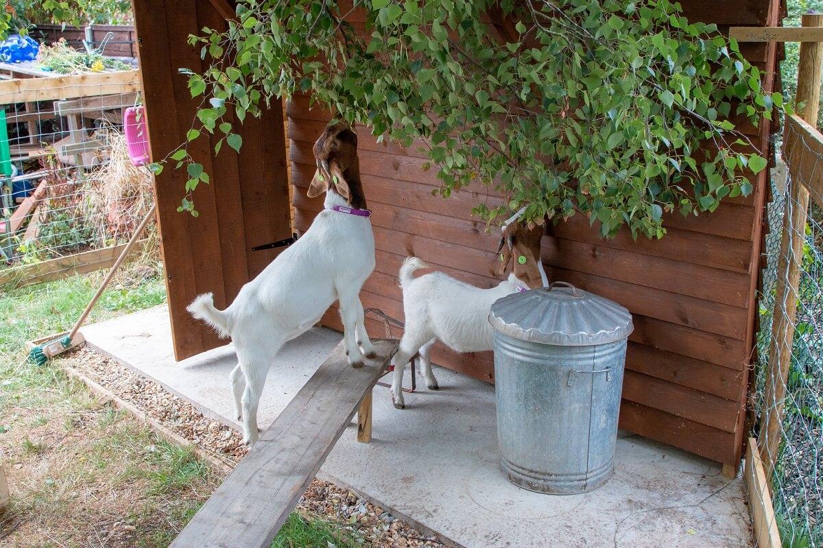 boer goats eating