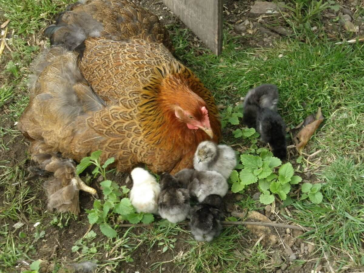 broody chicken with chicks