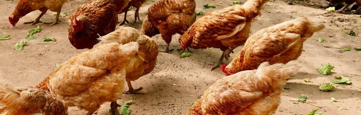 chickens eating lettuce