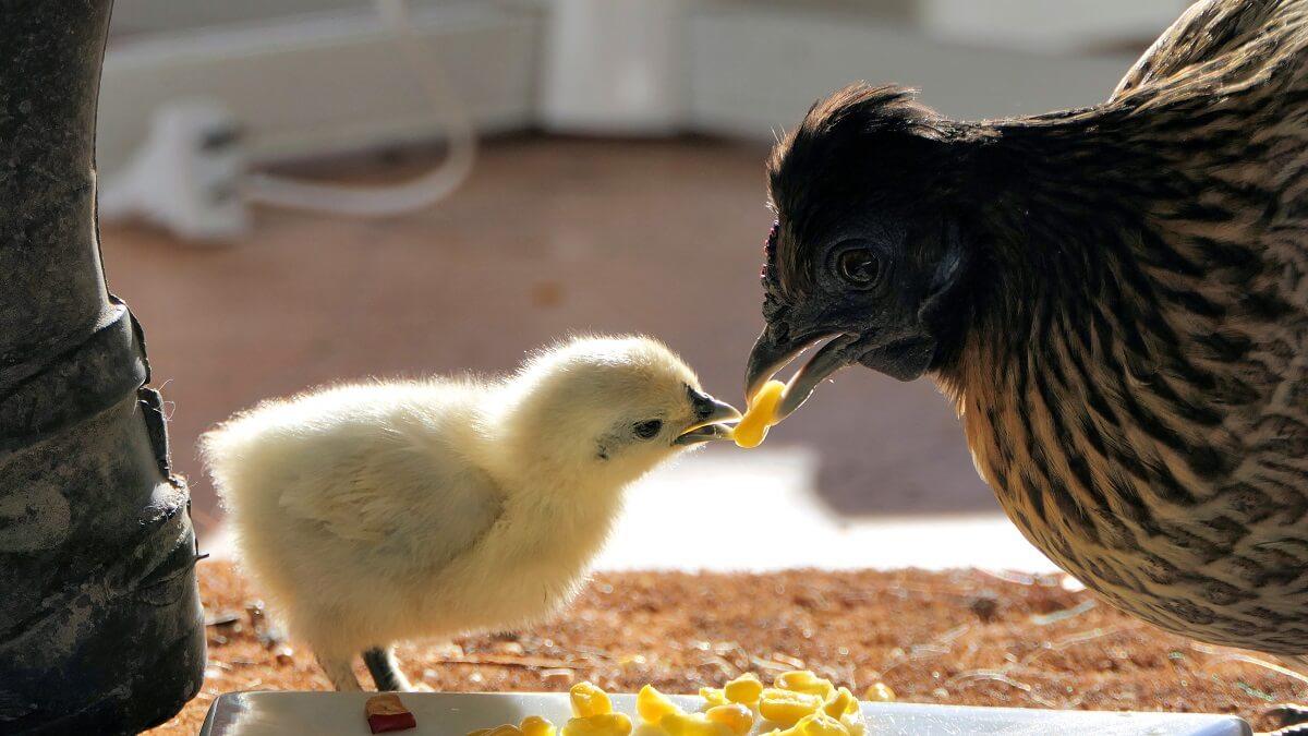 hen feeding chick corn