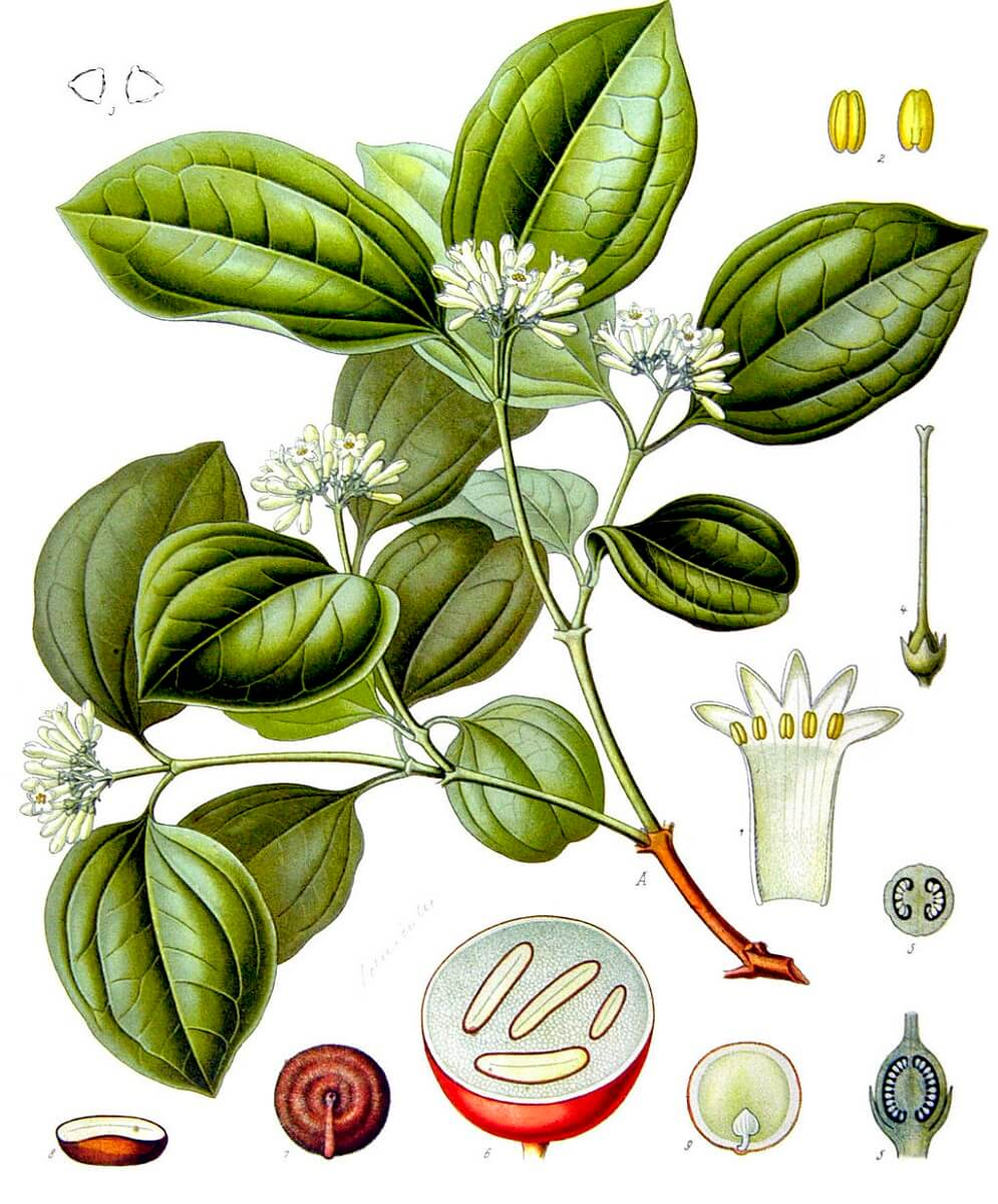 strychnine tree illustration