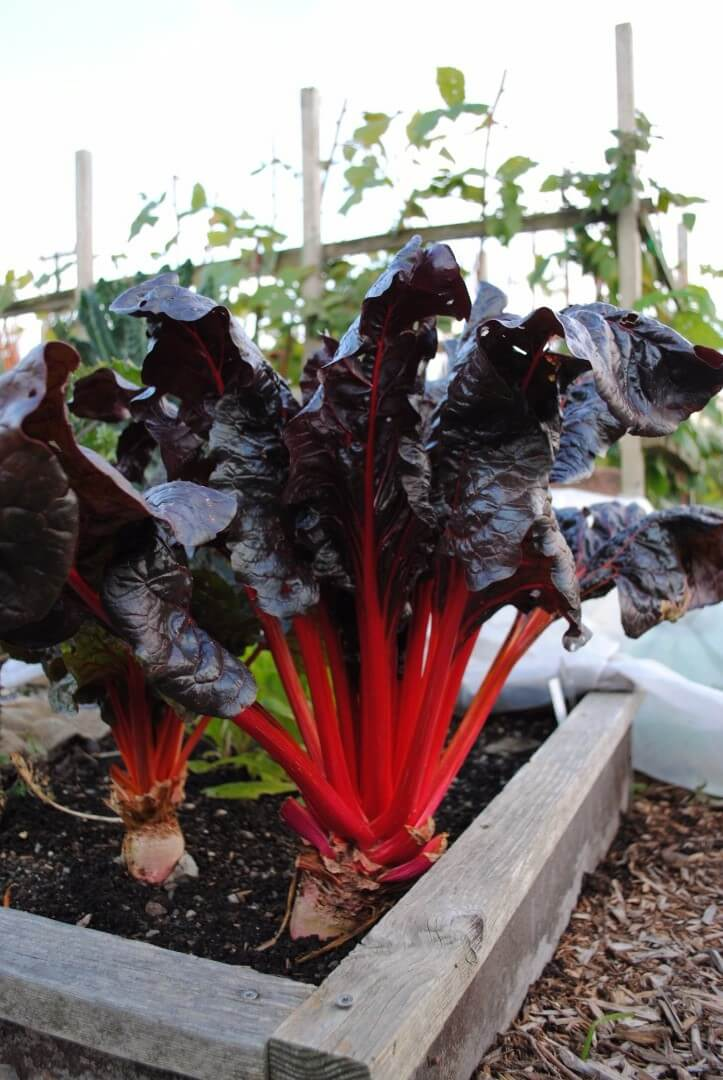 Growing Swiss Chard Insteading