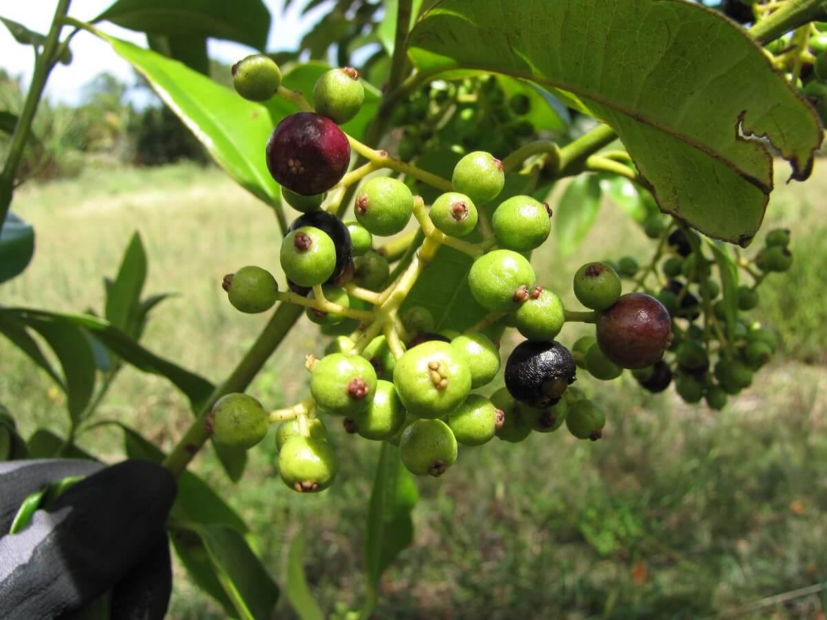 allspice fruit on tree