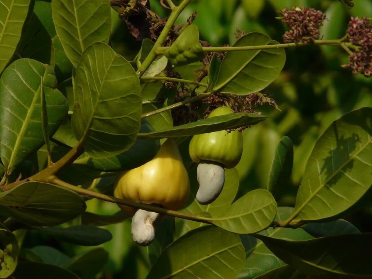 cashews growing on tree