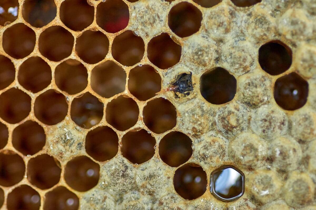 bee filling honey comb