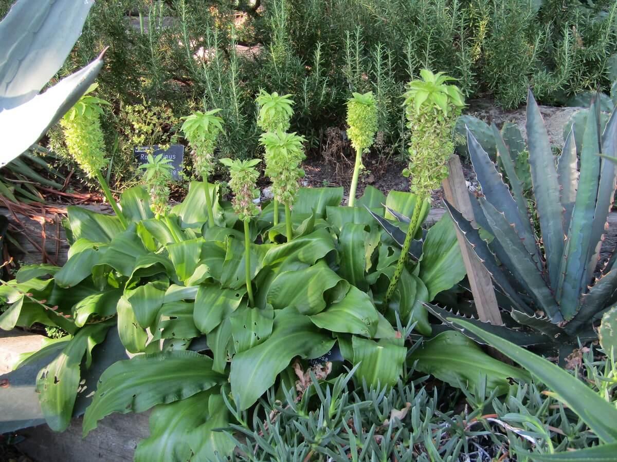 pineapple lilies