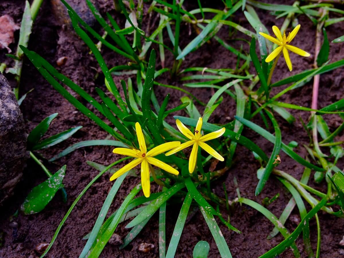water star grass