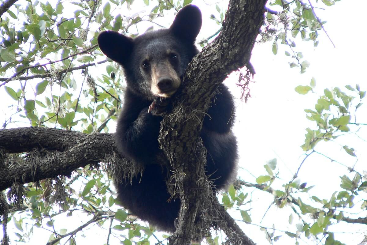 brown bear in tree