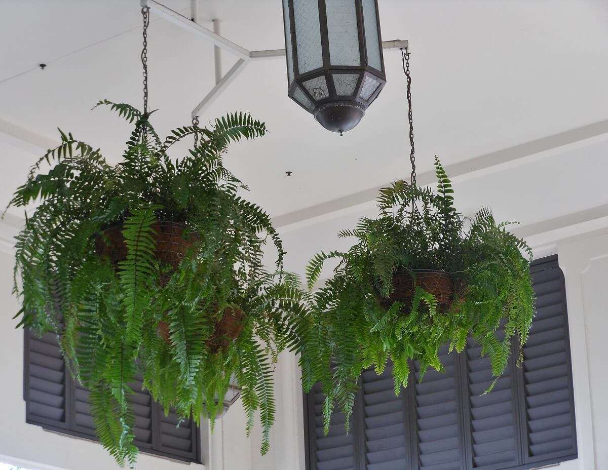 ferns in hanging planters