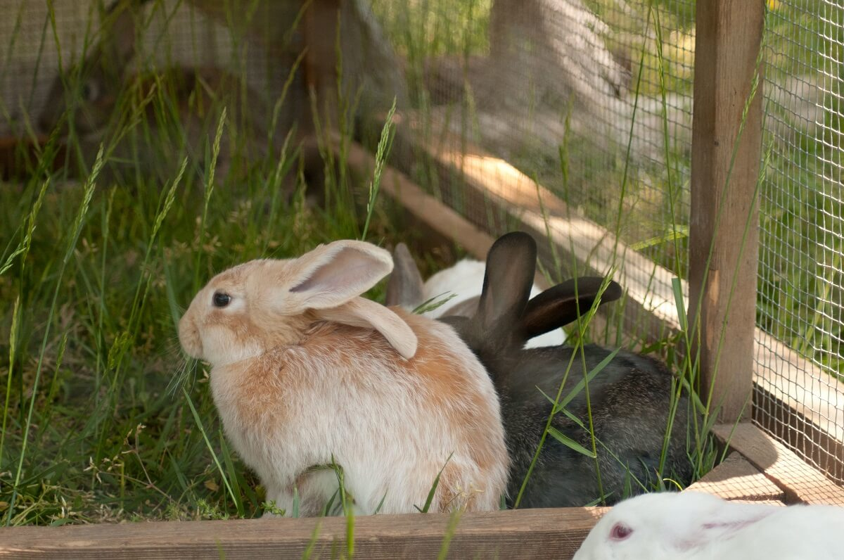 rabbits in free-range pen