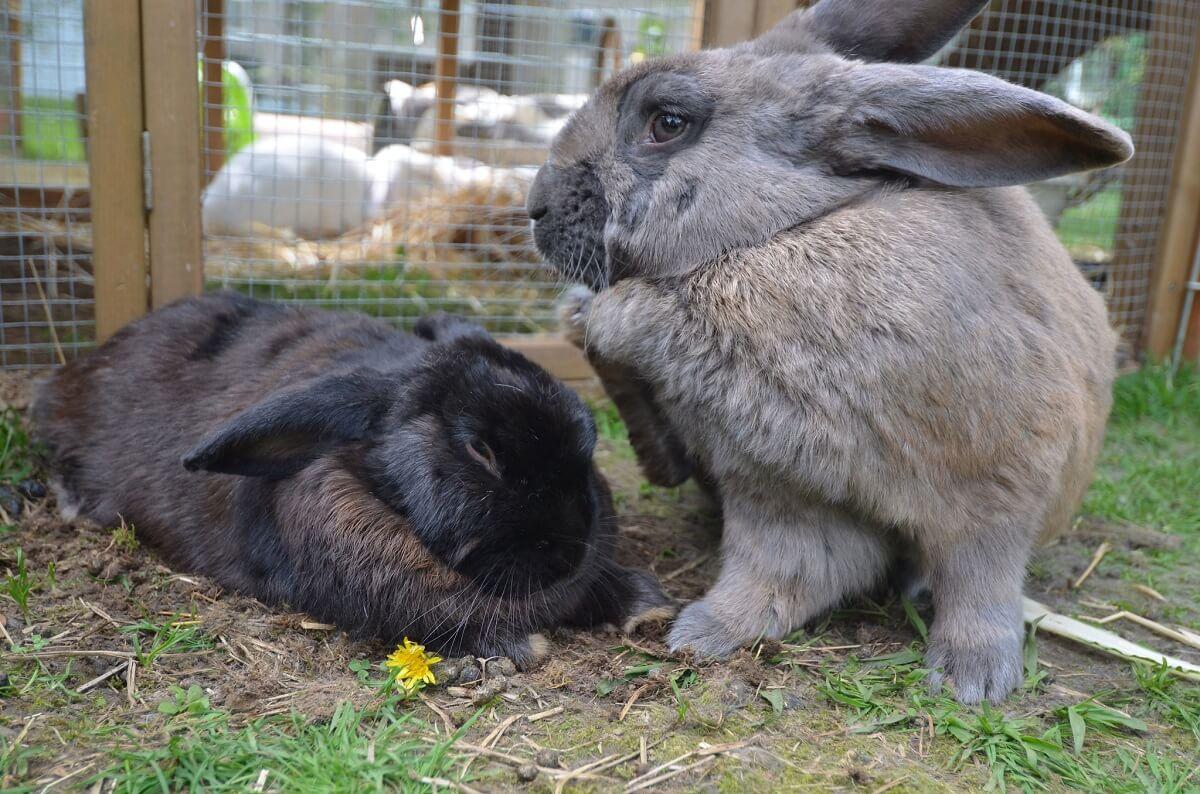 rabbits in pen