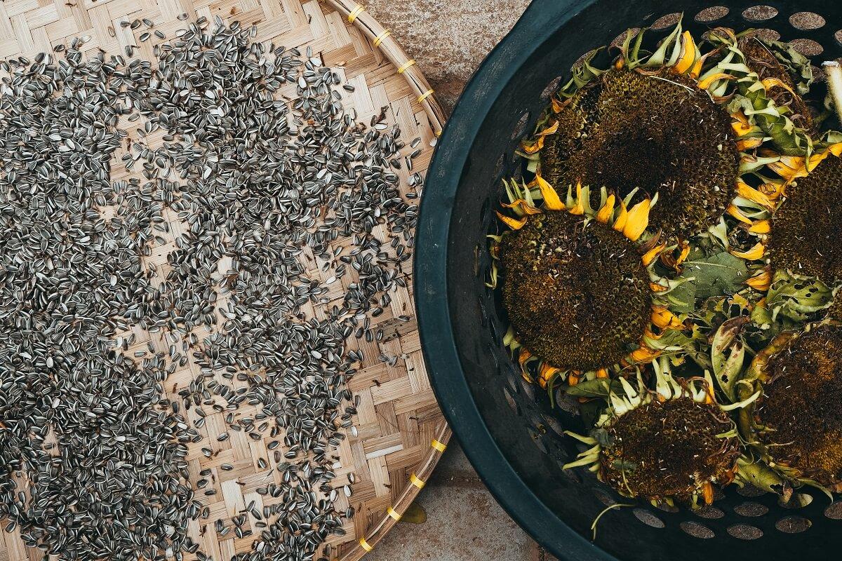 sunflower seeds and sunflowers
