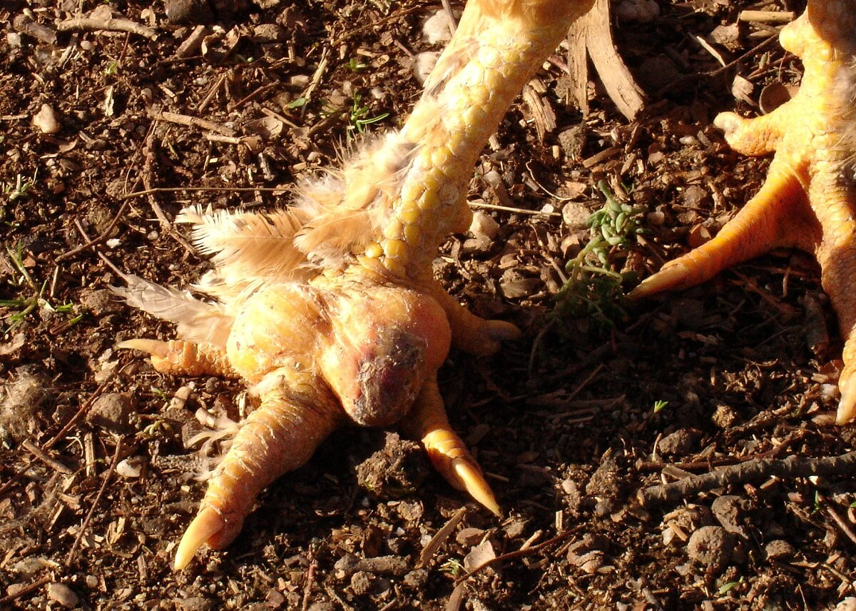 chicken bumblefoot