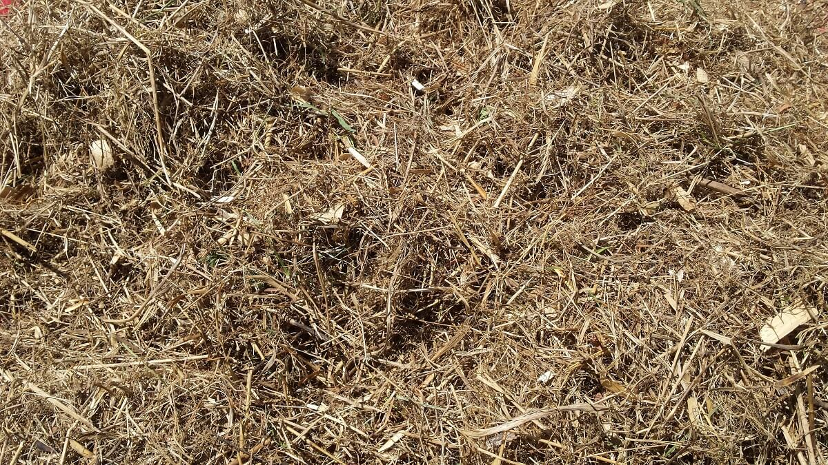 dried grass clippings