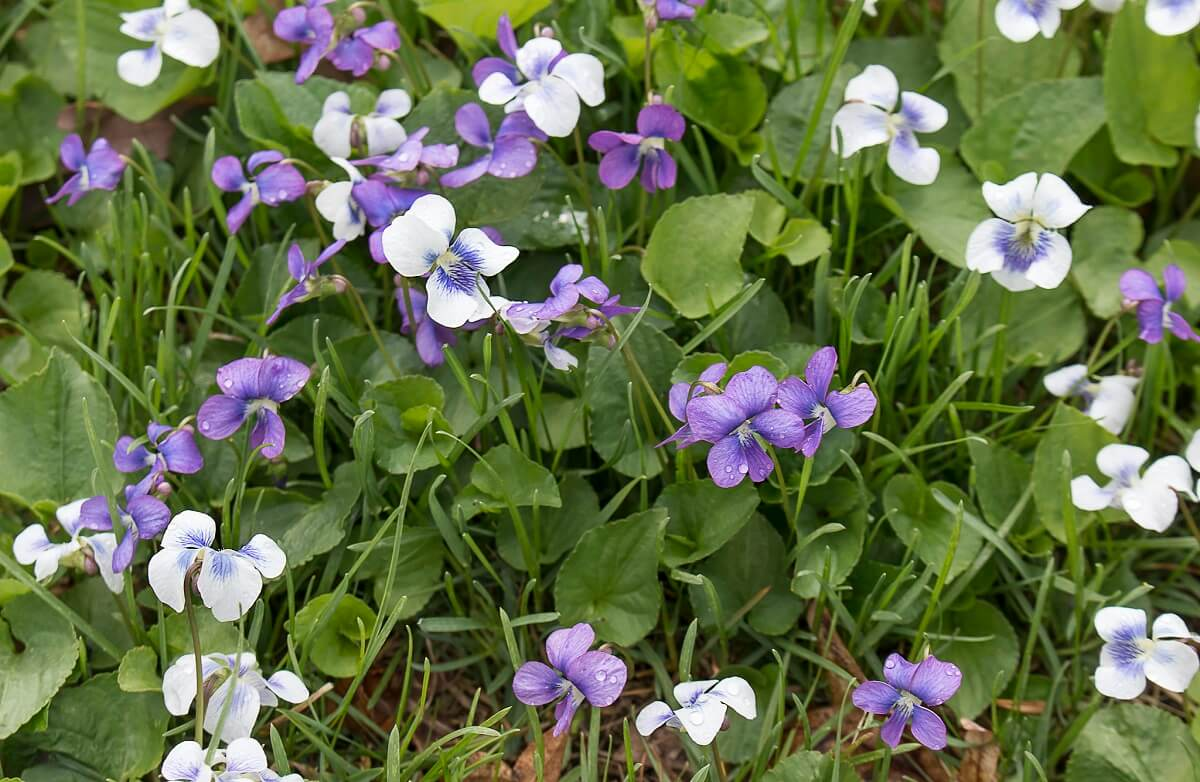 lawn of wild violets