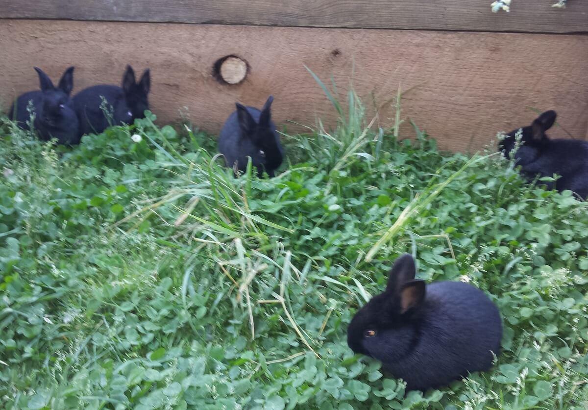 rabbits in grass bedding