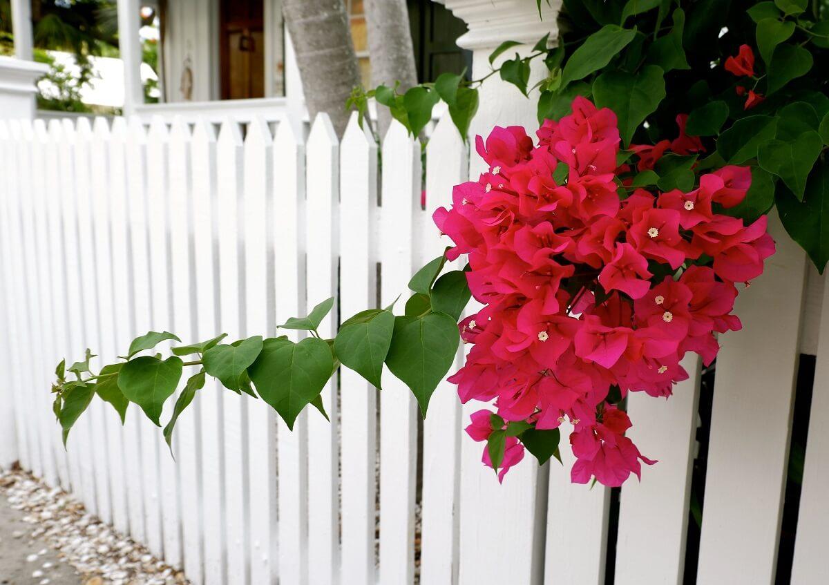 bougainvillea vine plant