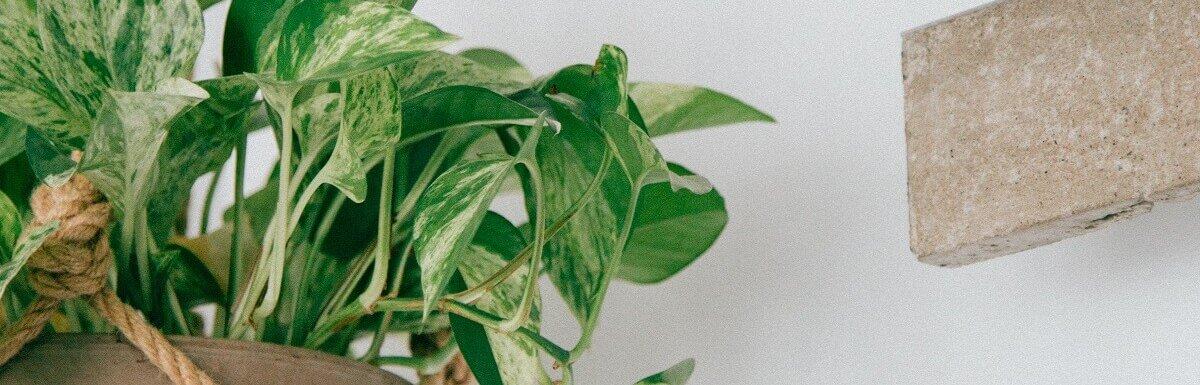 best hanging plants