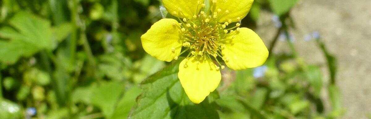 st benedict's herb