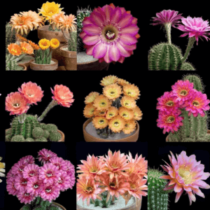 cacti blooming