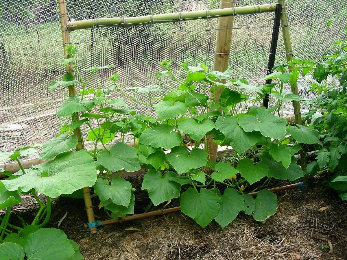 cucumber trellis